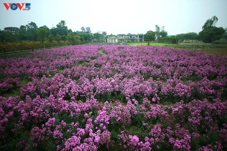 Ngắm thảo nguyên hoa giữa lòng Hà Nội - ảnh 10