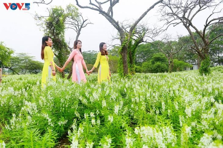 Ngắm thảo nguyên hoa giữa lòng Hà Nội - ảnh 5