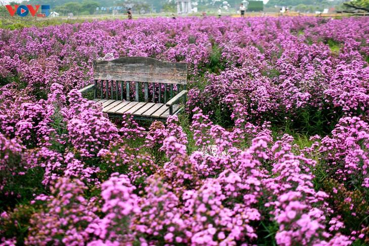 Ngắm thảo nguyên hoa giữa lòng Hà Nội - ảnh 12