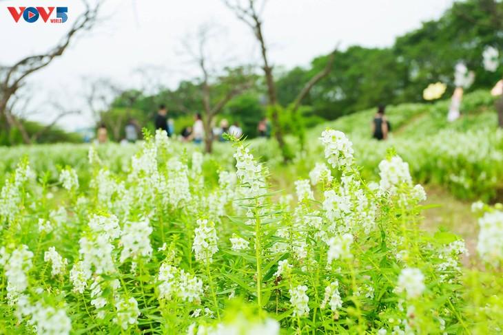 Ngắm thảo nguyên hoa giữa lòng Hà Nội - ảnh 6