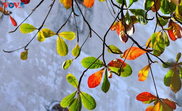 Hà Nội, mùa lá bàng chuyển màu - ảnh 6