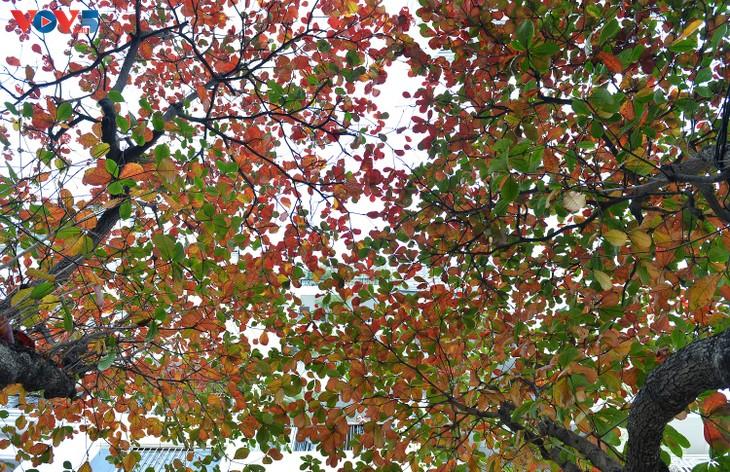 Hà Nội, mùa lá bàng chuyển màu - ảnh 9