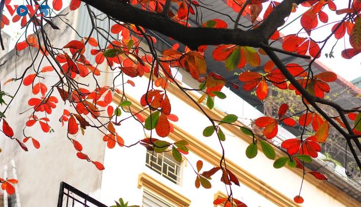 Hà Nội, mùa lá bàng chuyển màu - ảnh 7