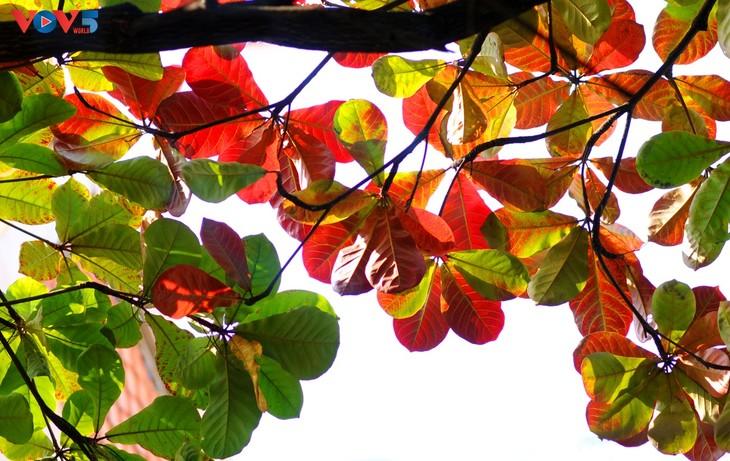 Hà Nội, mùa lá bàng chuyển màu - ảnh 3