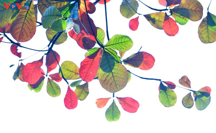 Hà Nội, mùa lá bàng chuyển màu - ảnh 8