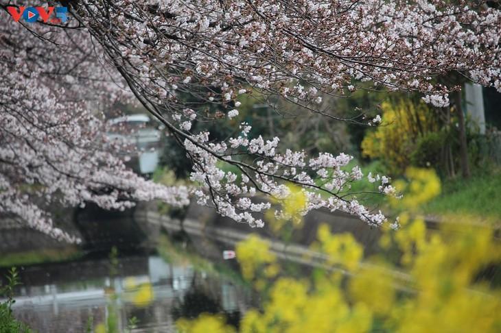 Chiêm ngưỡng con đường hoa anh đào dài nhất thế giới tại Nhật Bản - ảnh 10
