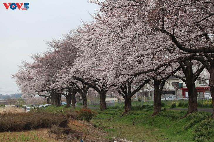 Chiêm ngưỡng con đường hoa anh đào dài nhất thế giới tại Nhật Bản - ảnh 8