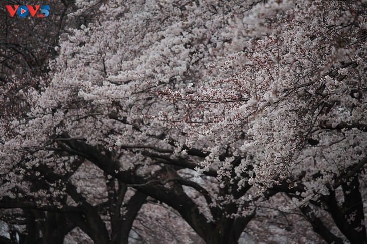 Chiêm ngưỡng con đường hoa anh đào dài nhất thế giới tại Nhật Bản - ảnh 9