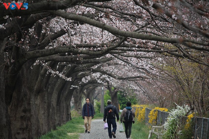 Chiêm ngưỡng con đường hoa anh đào dài nhất thế giới tại Nhật Bản - ảnh 18