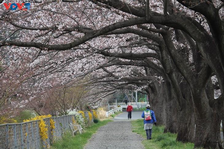 Chiêm ngưỡng con đường hoa anh đào dài nhất thế giới tại Nhật Bản - ảnh 12