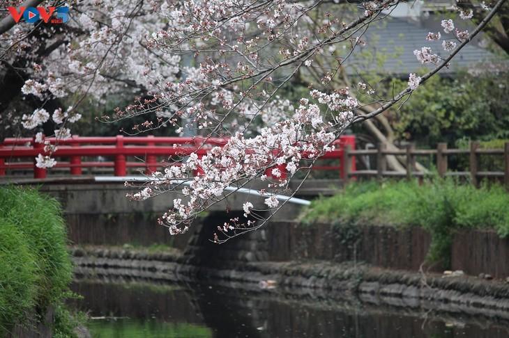 Chiêm ngưỡng con đường hoa anh đào dài nhất thế giới tại Nhật Bản - ảnh 1
