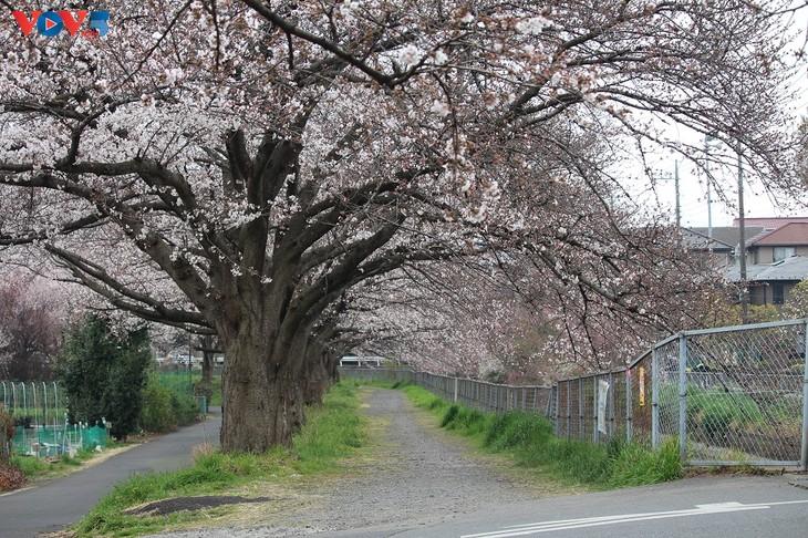 Chiêm ngưỡng con đường hoa anh đào dài nhất thế giới tại Nhật Bản - ảnh 13