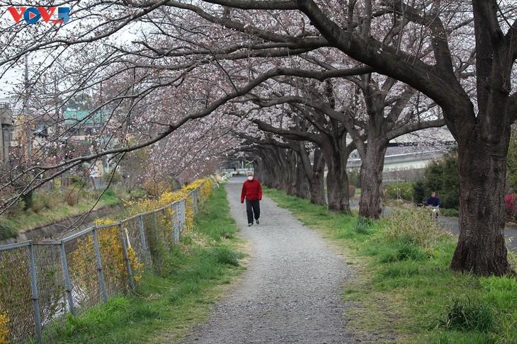 Chiêm ngưỡng con đường hoa anh đào dài nhất thế giới tại Nhật Bản - ảnh 14