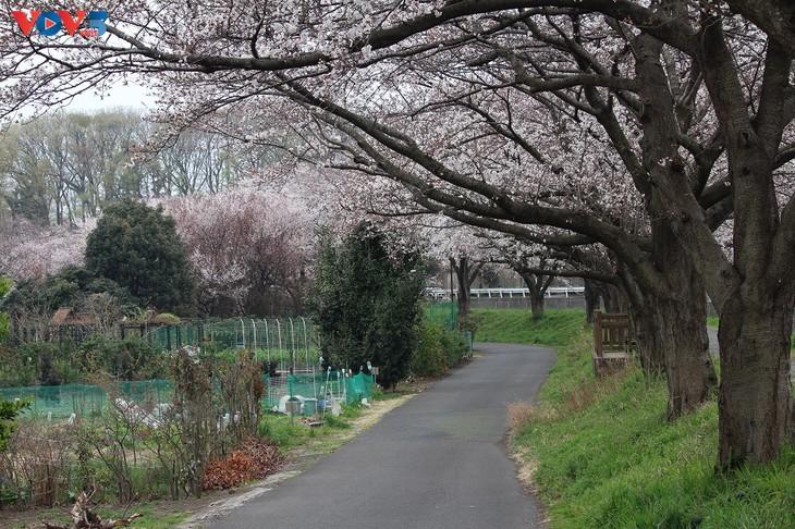 Chiêm ngưỡng con đường hoa anh đào dài nhất thế giới tại Nhật Bản - ảnh 15
