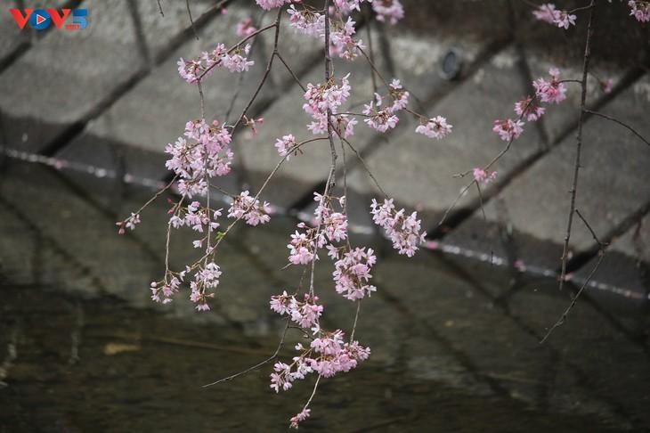 Chiêm ngưỡng con đường hoa anh đào dài nhất thế giới tại Nhật Bản - ảnh 16