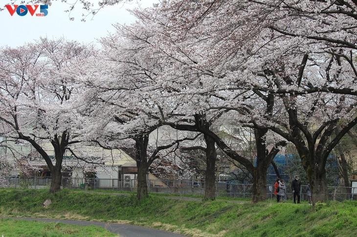 Chiêm ngưỡng con đường hoa anh đào dài nhất thế giới tại Nhật Bản - ảnh 17