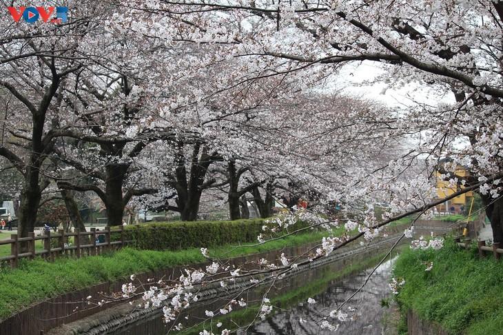 Chiêm ngưỡng con đường hoa anh đào dài nhất thế giới tại Nhật Bản - ảnh 2
