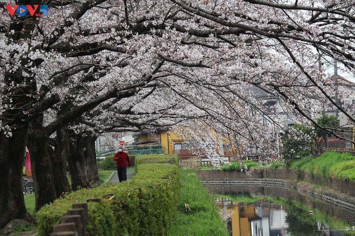 Chiêm ngưỡng con đường hoa anh đào dài nhất thế giới tại Nhật Bản - ảnh 3