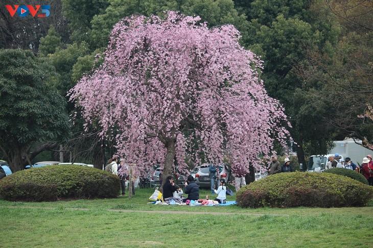 Chiêm ngưỡng con đường hoa anh đào dài nhất thế giới tại Nhật Bản - ảnh 5