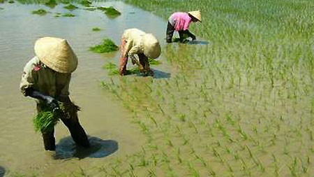 Wet rice cultivation of the Viet people