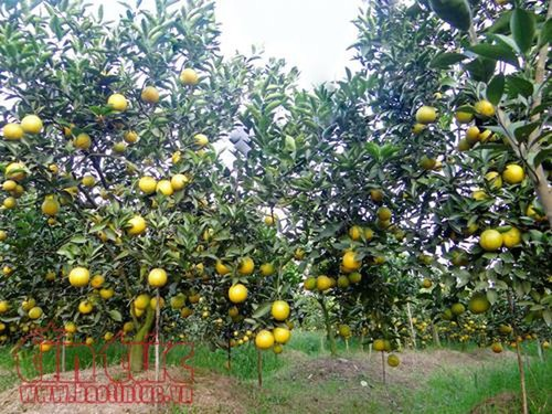 Hung Yen oranges win customers' trust - ảnh 1