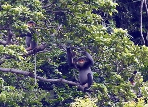 Quảng Nam sẽ thành lập Khu bảo tồn loài sinh cảnh voọc chà vá chân xám - ảnh 1