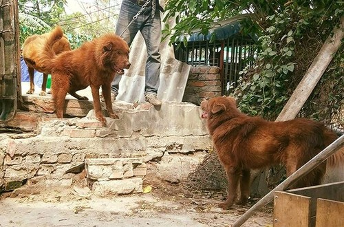 """Mong """"docked tail"""" dog believed to bring luck to owners - ảnh 1"""
