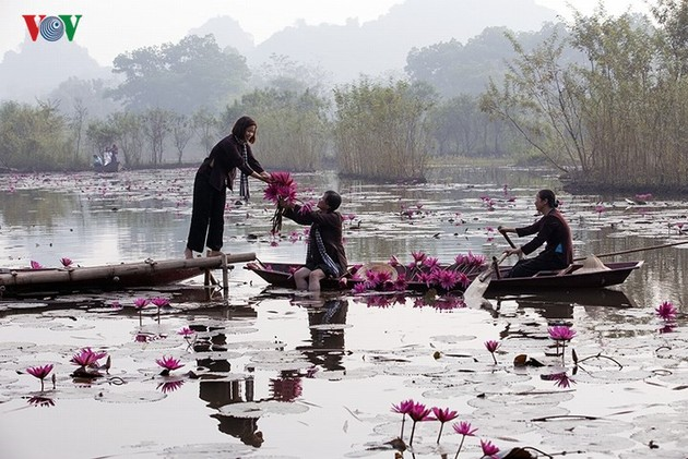 Stunning water lilies in Yen stream lure visitors during the autumn months