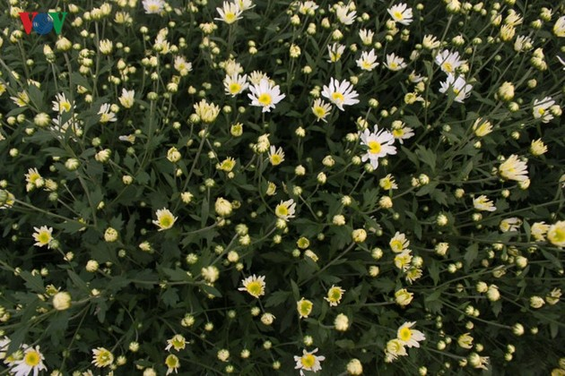 Beautiful ox-eye daisies in Nhat Tan flower village
