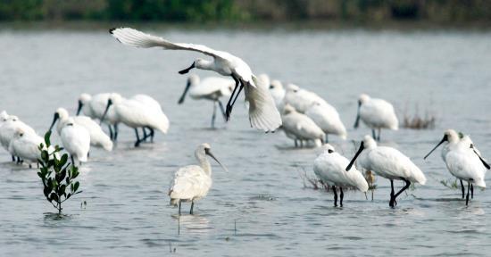 Taman Nasional Xuan Thuy -  Bumi baik tempat  burung  suka  bertengger - ảnh 3
