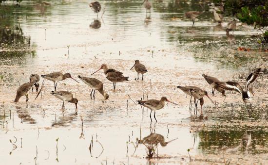 Taman Nasional Xuan Thuy -  Bumi baik tempat  burung  suka  bertengger - ảnh 4