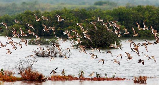 Taman Nasional Xuan Thuy -  Bumi baik tempat  burung  suka  bertengger - ảnh 5