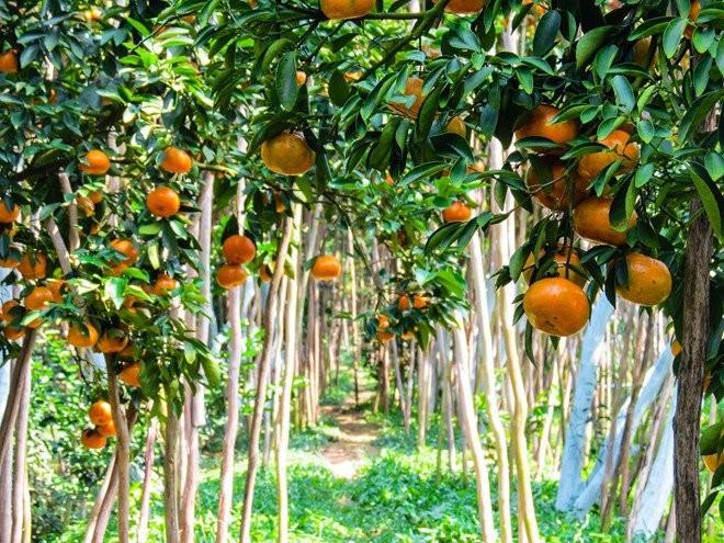 Keindahan kebun jeruk keprok  Lai Vung, provinsi Dong Thap - ảnh 2