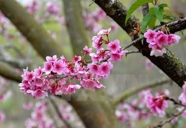 ハロンで、桜祭り2016,18日から - ảnh 1