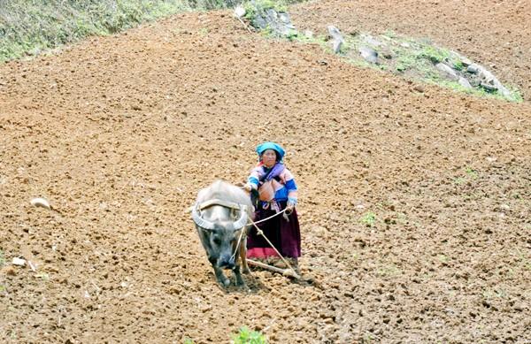 少数民族の人々の農業生産活動 - ảnh 4
