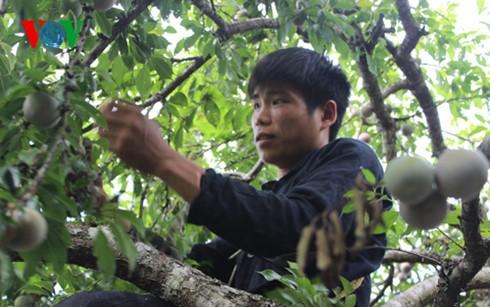 第3回プラム狩り祭り ソンラ省 - ảnh 1