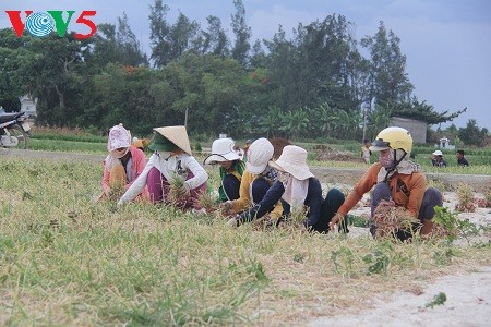 Onion and garlic farming on Ly Son Island  - ảnh 2