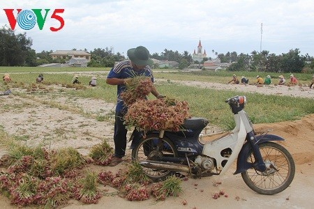 Onion and garlic farming on Ly Son Island  - ảnh 3