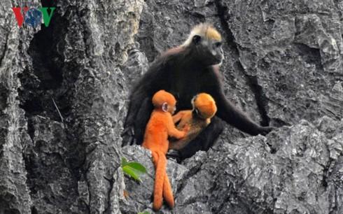 Langur safe-guarders on Cat Ba Island  - ảnh 2