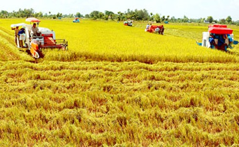 Organic rice production models to affirm Vietnam's export status - ảnh 1