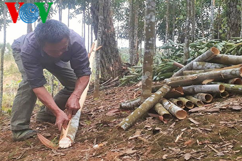 Cinnamon trees secure stable income for Bao Yen people  - ảnh 1