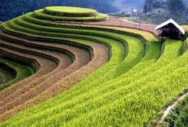 イエンバイ省、ムカンチャイ県の棚田での米作り - ảnh 1