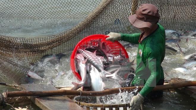 九龙江平原地区的查鱼种苗价格下降 - ảnh 1