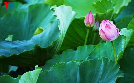 Musim bunga Teratai: saat-saat yang terindah - ảnh 9
