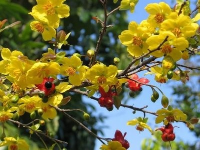 Dien Hoa-the village of yellow apricot blossoms - ảnh 1