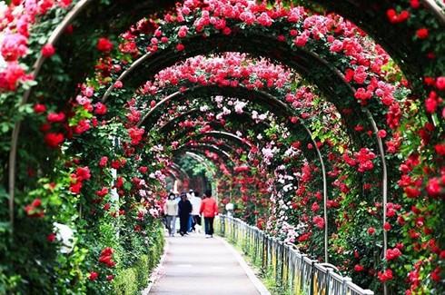 保加利亚玫瑰花节首次在越南举行 - ảnh 1