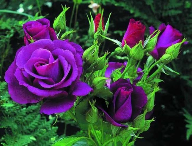 越南玫瑰与保加利亚玫瑰 - ảnh 1