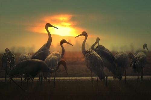 Schöne Landschaftsfotos in der Fotoserie über Kraniche des Fotografen Tang A Pau - ảnh 14