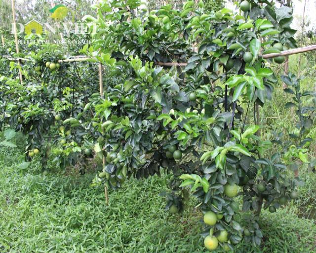 Zusammenarbeit der Bauern im Kreis Phung Hiep bei der Markteinführung der Xoan-Orange  - ảnh 1