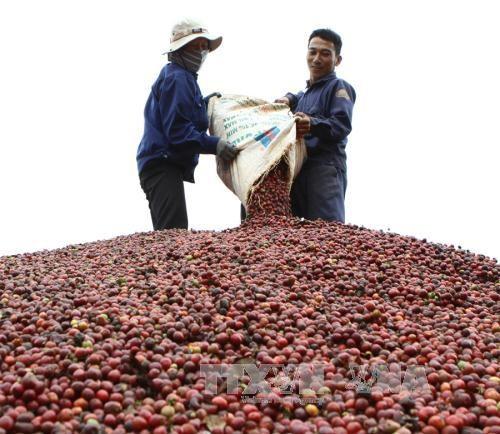 Entwicklung eines nachhaltigen Kaffeeanbaus - ảnh 1